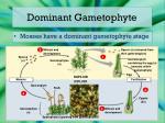 dominant gametophyte