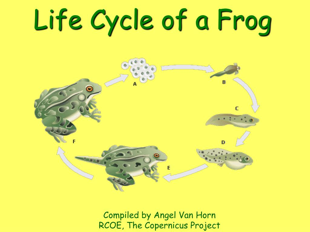 life cycle of a frog l.