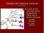 c lulas del sistema inmune hematopoyesis
