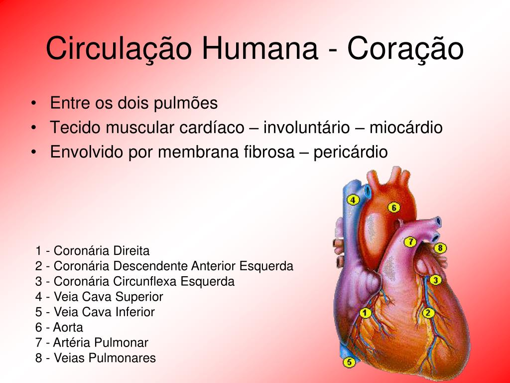 Circulação Humana - Coração