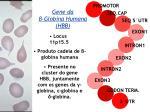 presente no cluster do gene hbb juntamente com os genes da globina globina e globina
