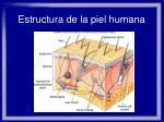 estructura de la piel humana14
