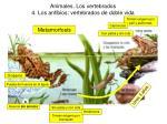 animales los vertebrados 4 los anfibios vertebrados de doble vida13