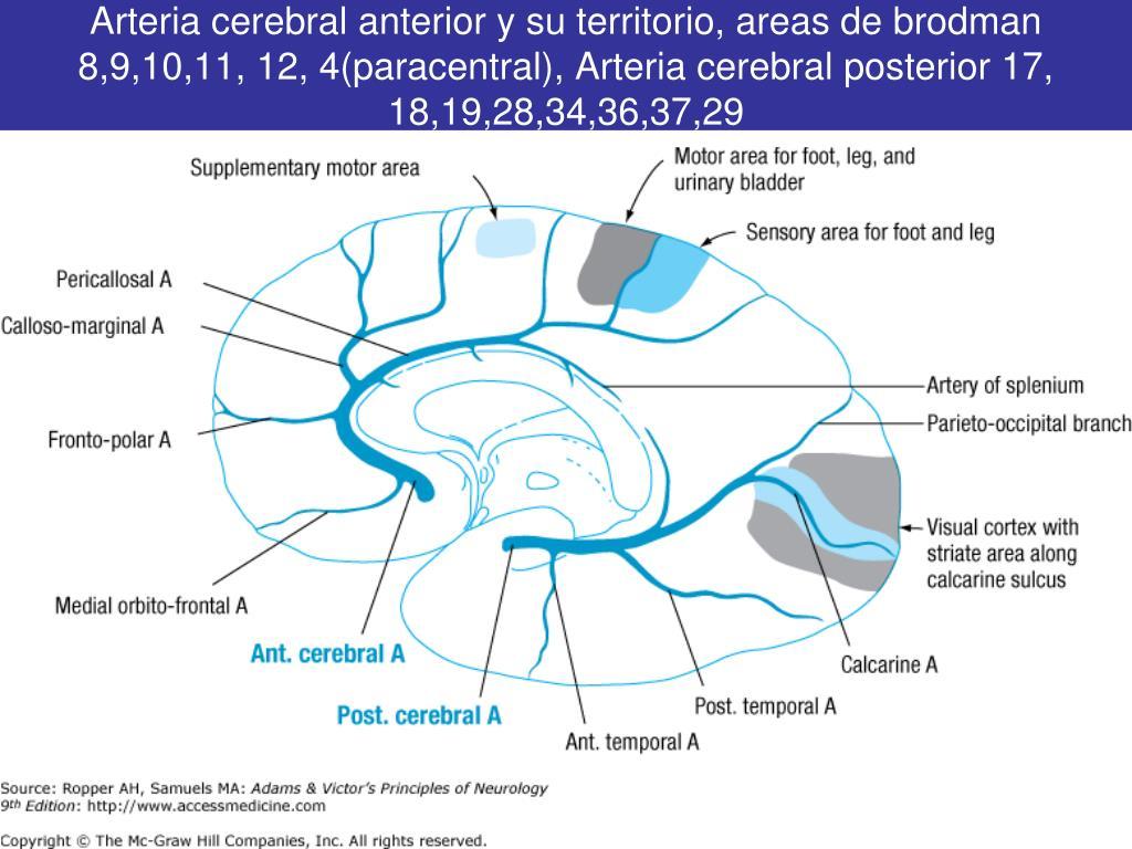 Arteria cerebral anterior y su territorio, areas de brodman 8,9,10,11, 12, 4(paracentral), Arteria cerebral posterior 17, 18,19,28,34,36,37,29