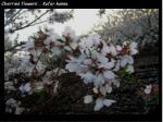 cherries flowers kofor kanna