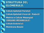 struttura del glomerulo