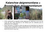 kalanchoe daigremontiana bryophyllum daigremontianum
