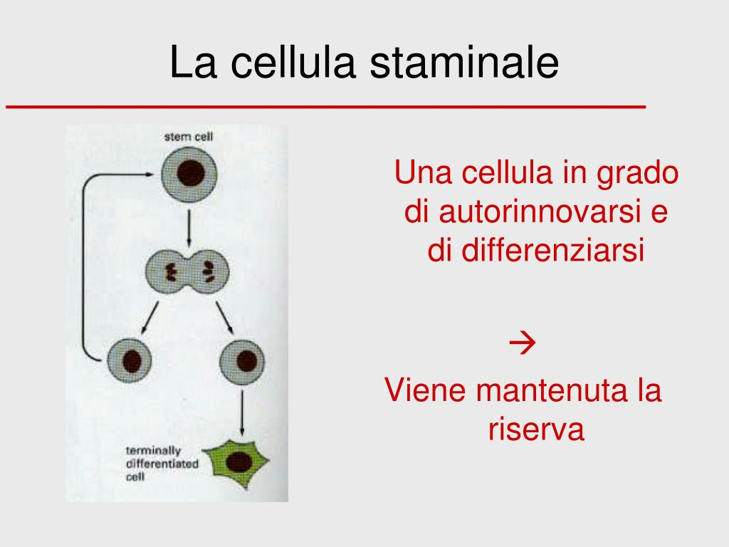 la cellula staminale l.