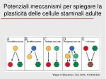 potenziali meccanismi per spiegare la plasticit delle cellule staminali adulte