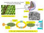 las plantas con flor estructura y funci n la nutrici n v fotos ntesis