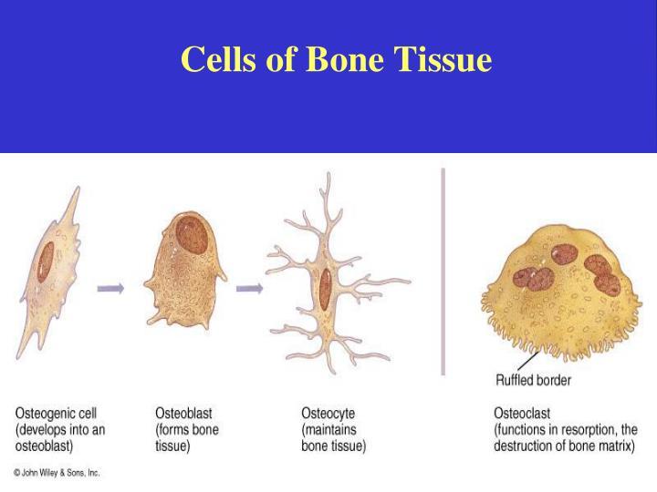 Bone tissue supportive connective tissue