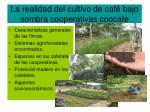 la realidad del cultivo de caf bajo sombra cooperativas coocafe