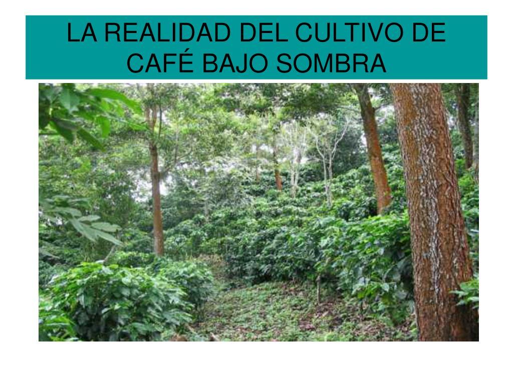la realidad del cultivo de caf bajo sombra l.