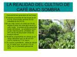 la realidad del cultivo de caf bajo sombra8