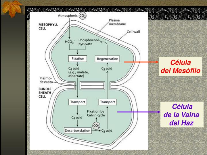 PPT - FOTOSINTESIS METABOLISMO C4 PowerPoint Presentation..