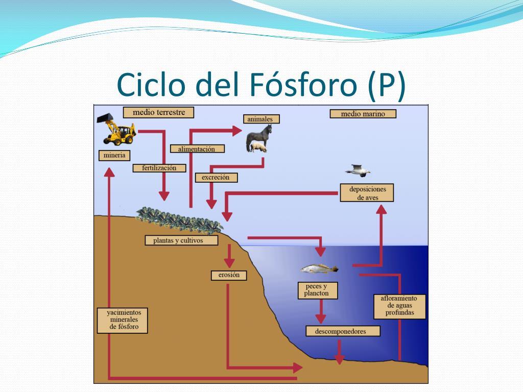 Ciclo del Fósforo (P)