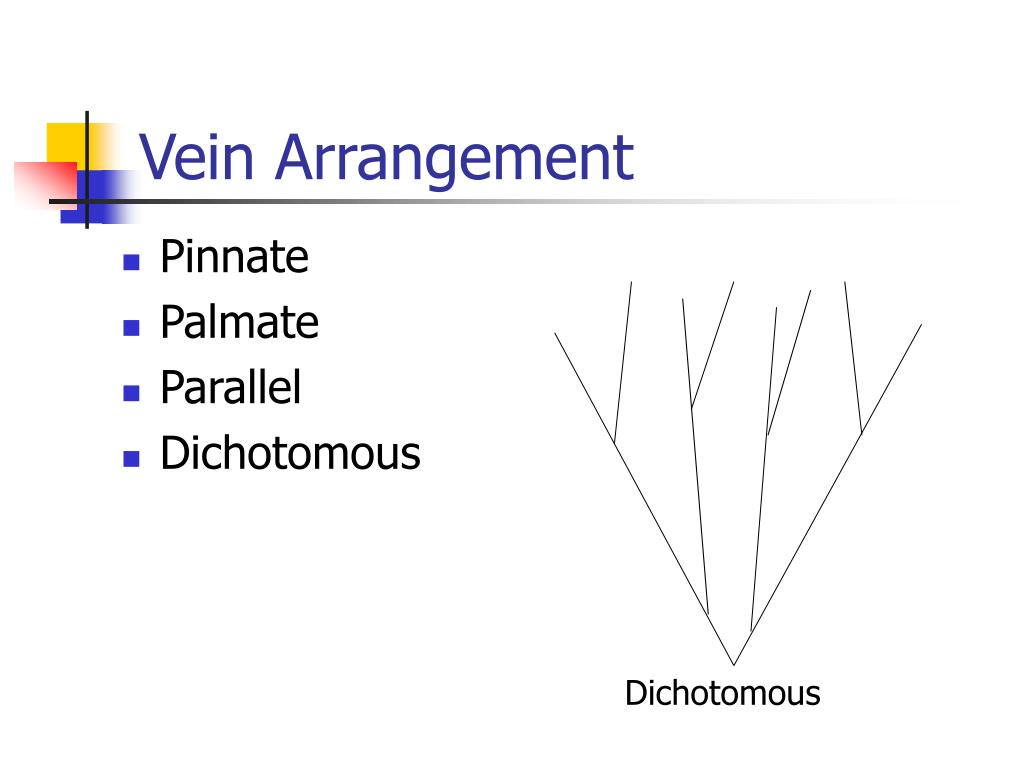 Vein Arrangement