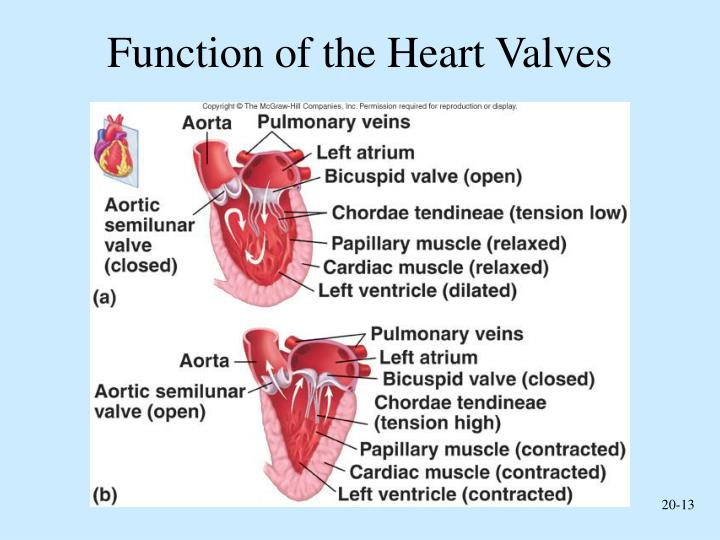 Ppt Cardiovascular System The Heart Powerpoint Presentation Id