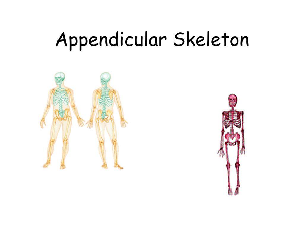 appendicular skeleton l.
