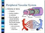 peripheral vascular system