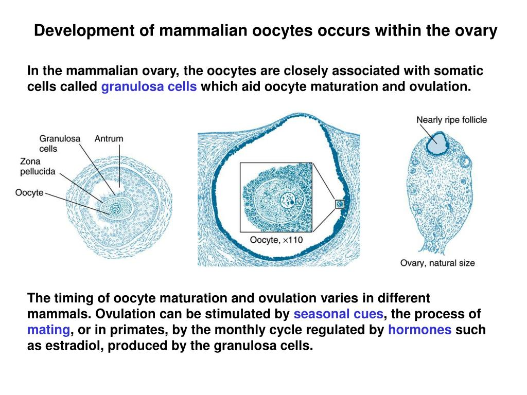 Development of mammalian oocytes occurs within the ovary