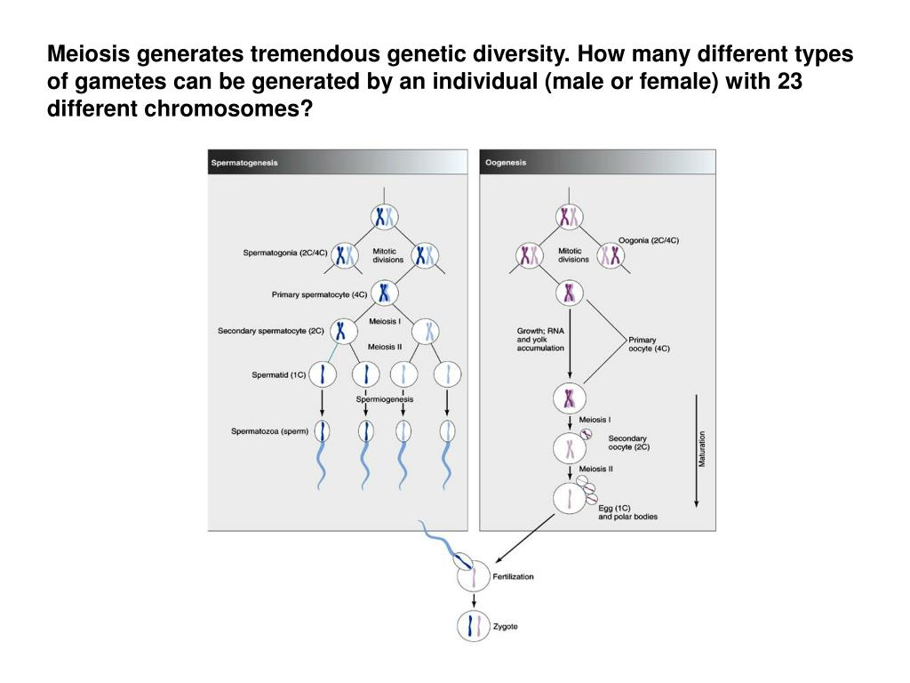 Meiosis generates tremendous genetic diversity. How many different types of gametes can be generated by an individual (male or female) with 23 different chromosomes?