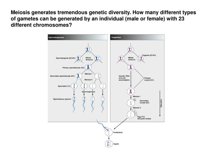 Meiosis generates tremendous genetic diversity. How many different types of gametes can be generated...
