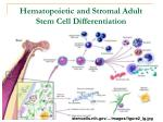 hematopoietic and stromal adult stem cell differentiation