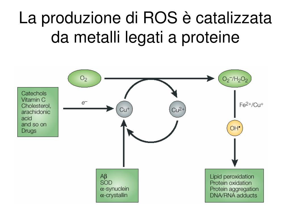 La produzione di ROS è catalizzata da metalli legati a proteine