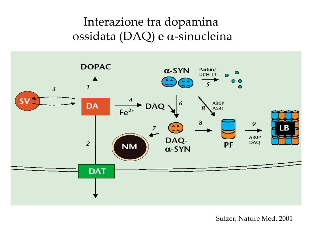Interazione tra dopamina