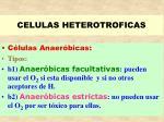 celulas heterotroficas32