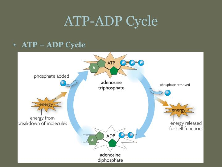 ATP-ADP Cycle PowerPoint Presentation