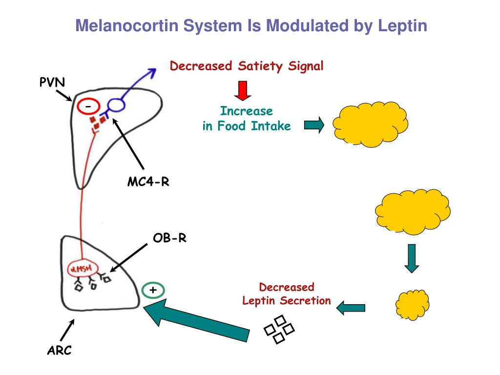 Melanocortin System Is Modulated by Leptin