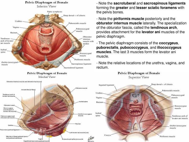 Ppt Female Reproductive System Anatomy Histology Correlate
