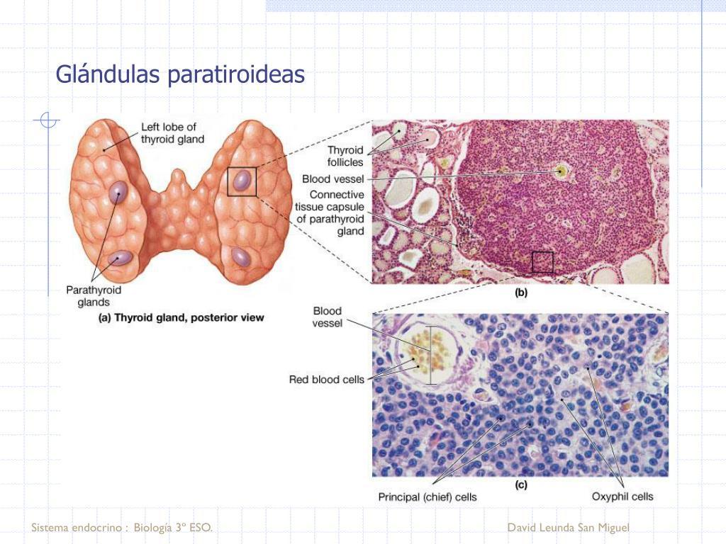 Glándulas paratiroideas