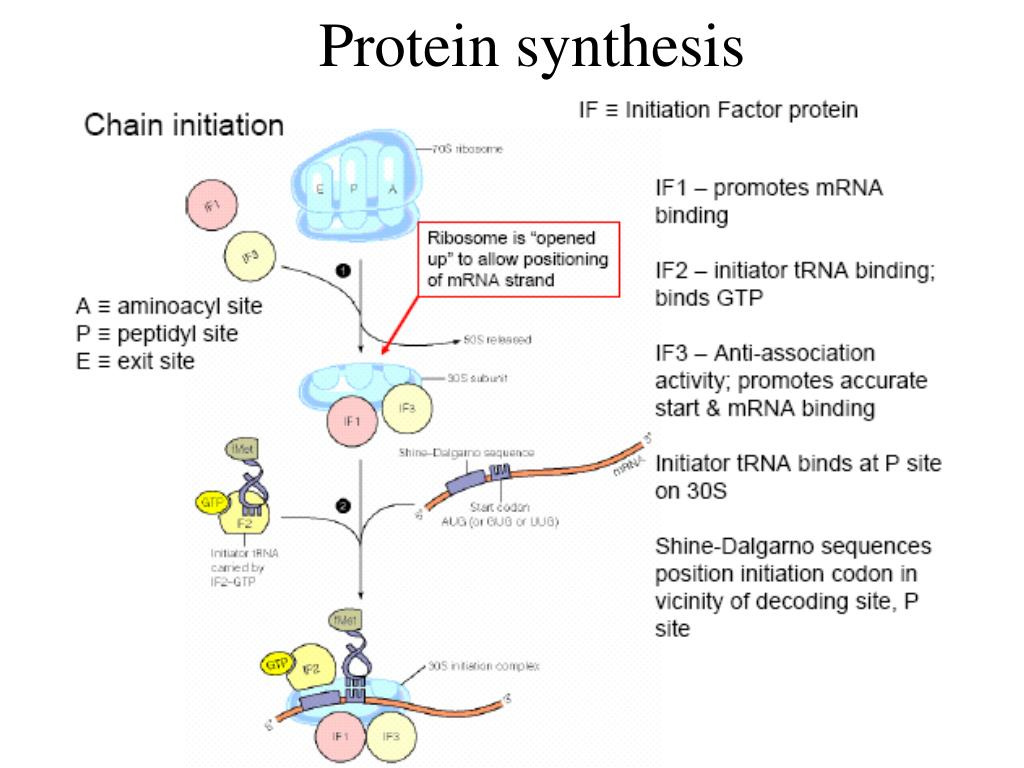 protien sythesis
