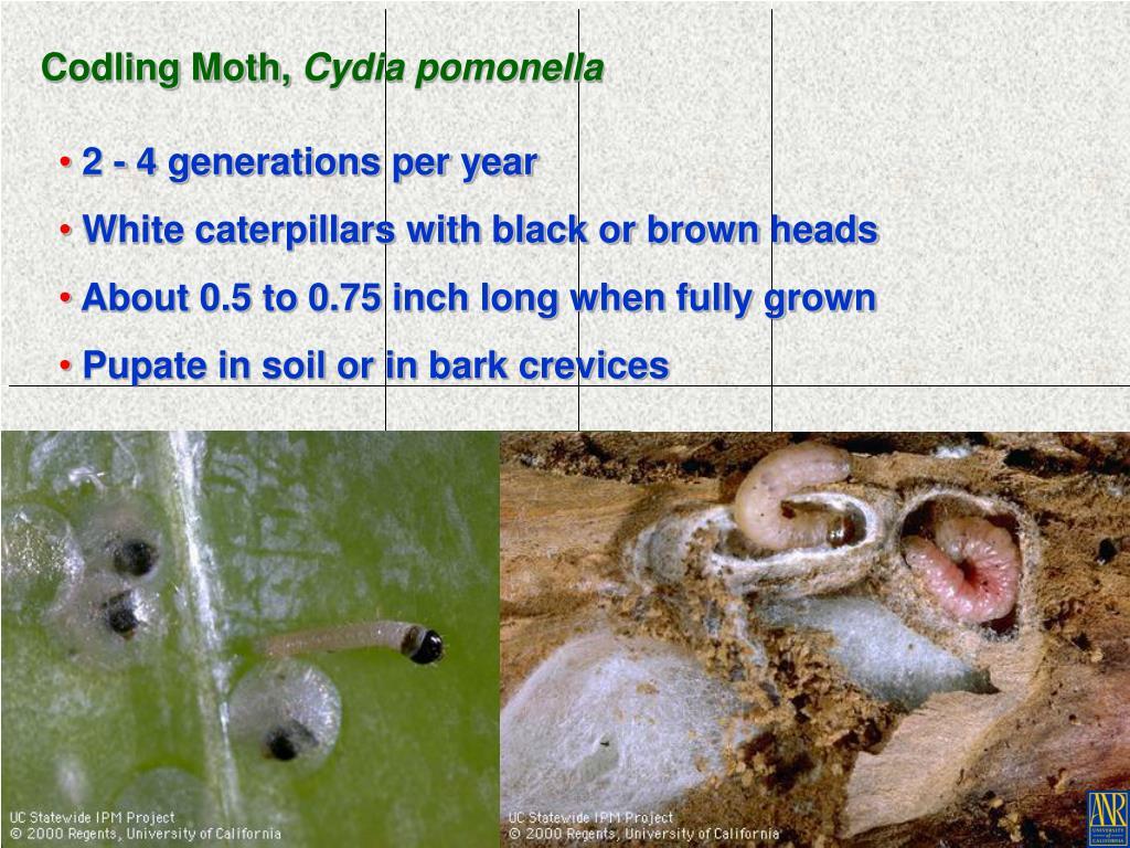 Codling Moth,