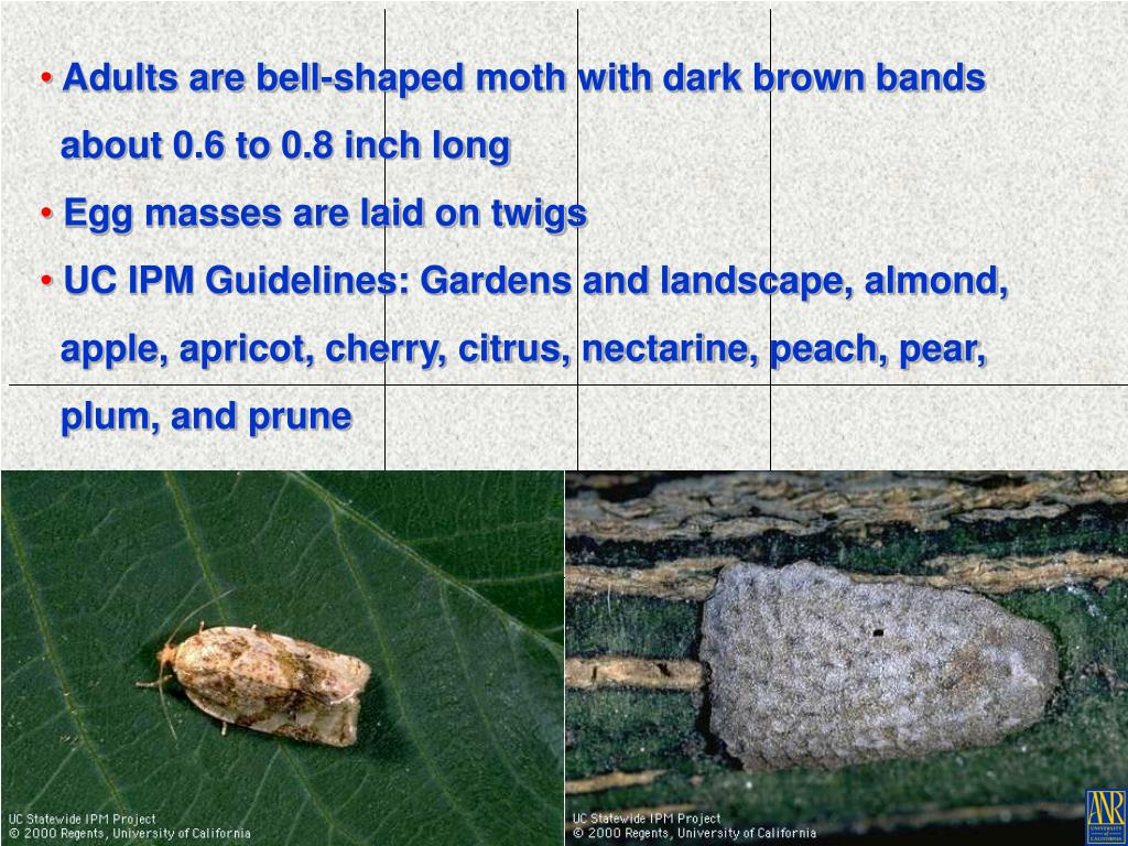 Adults are bell-shaped moth with dark brown bands