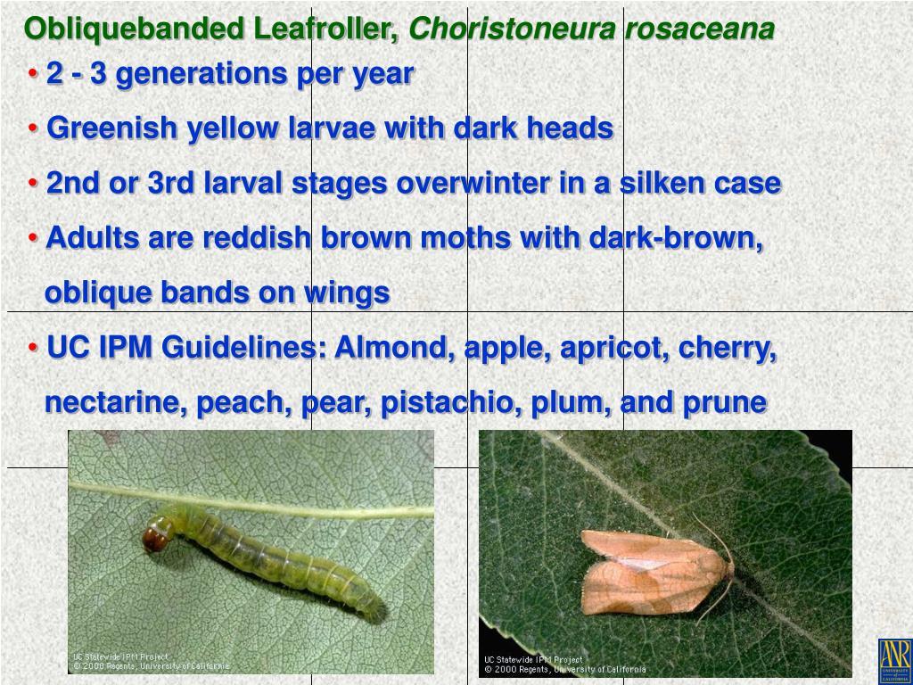 Obliquebanded Leafroller,