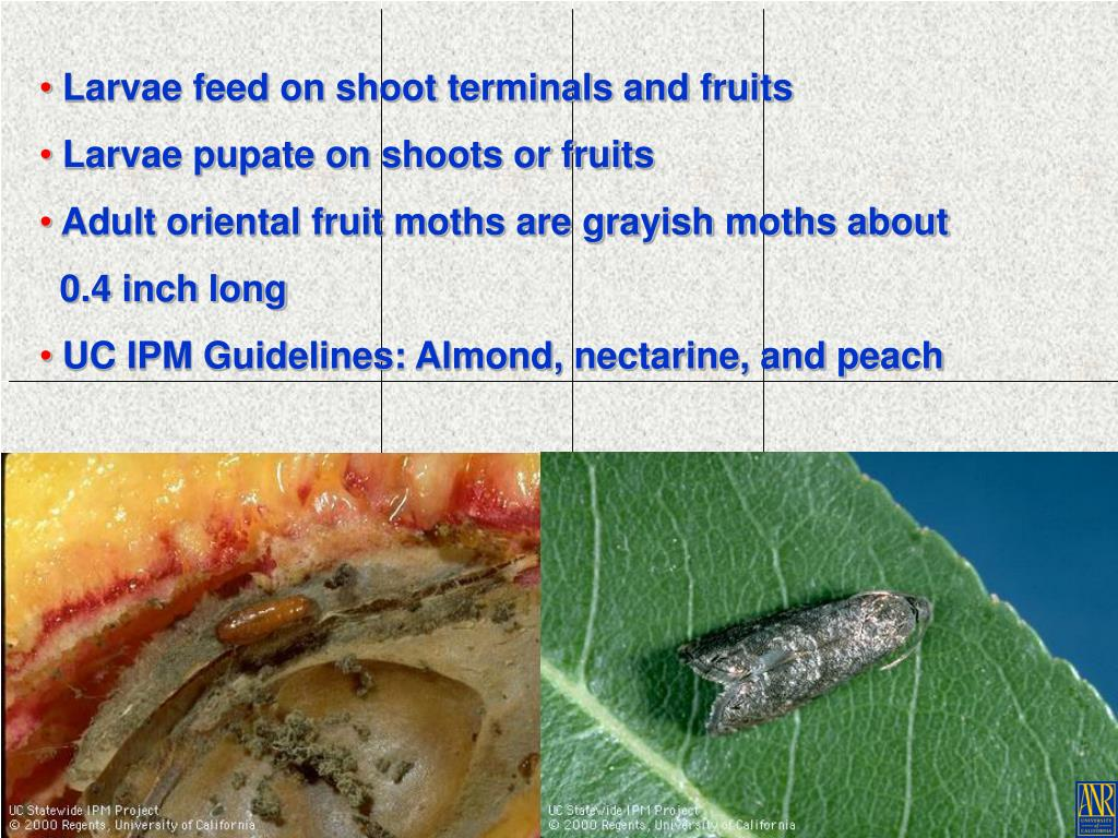 Larvae feed on shoot terminals and fruits