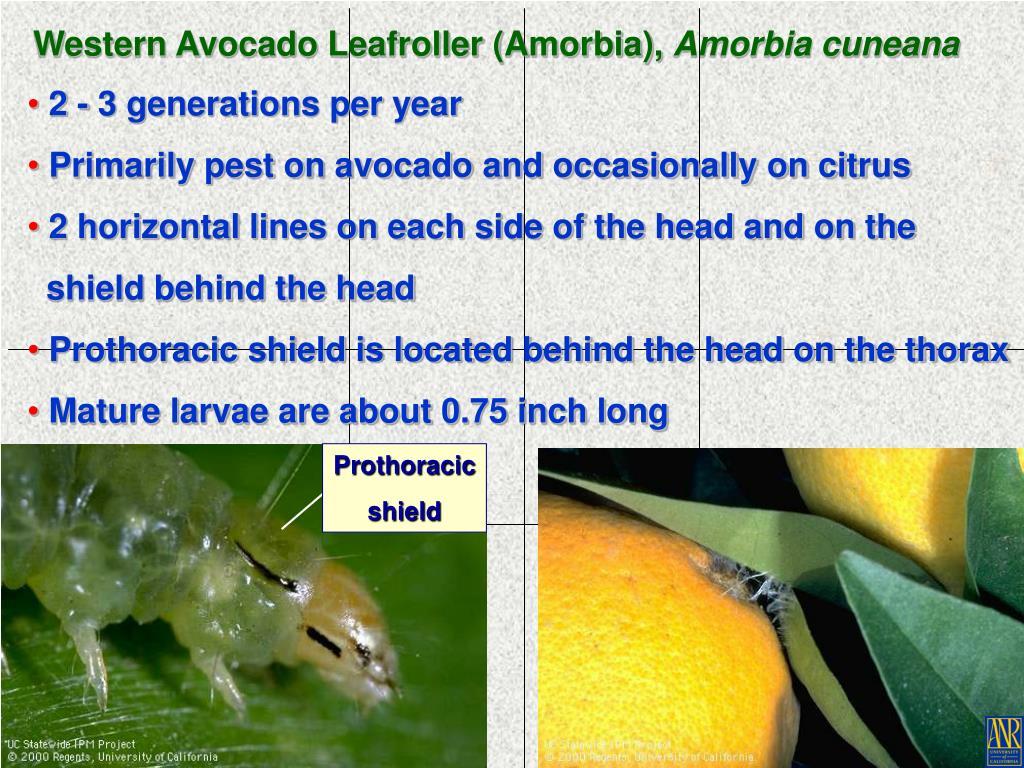 Western Avocado Leafroller (Amorbia),