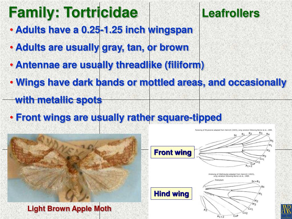 Family: Tortricidae