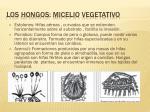 los hongos micelio vegetativo13