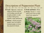 description of peppermint plant