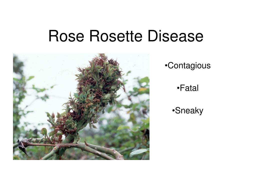 rose rosette disease l.