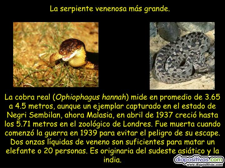 La serpiente venenosa más grande.