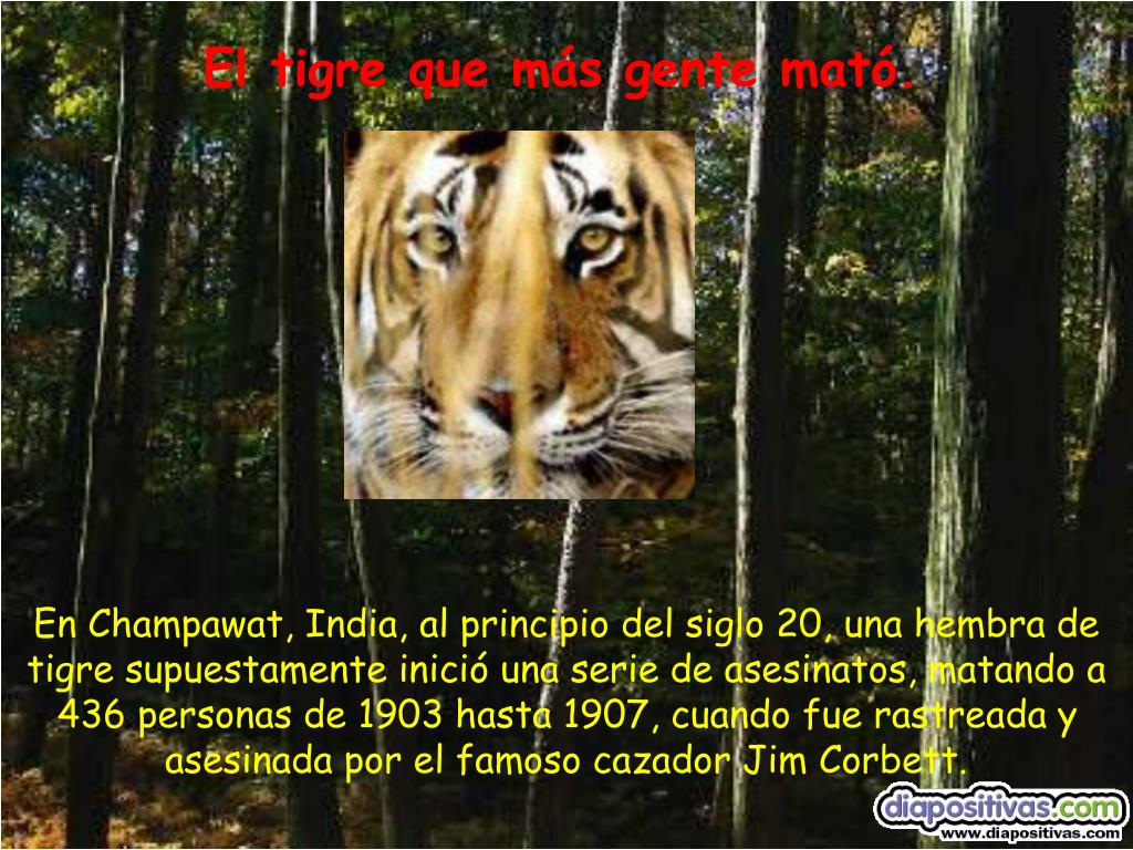El tigre que más gente mató.