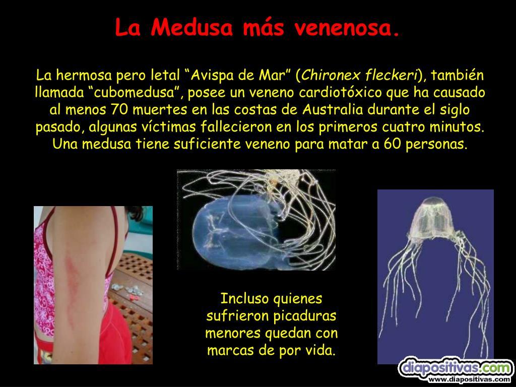 La Medusa más venenosa.