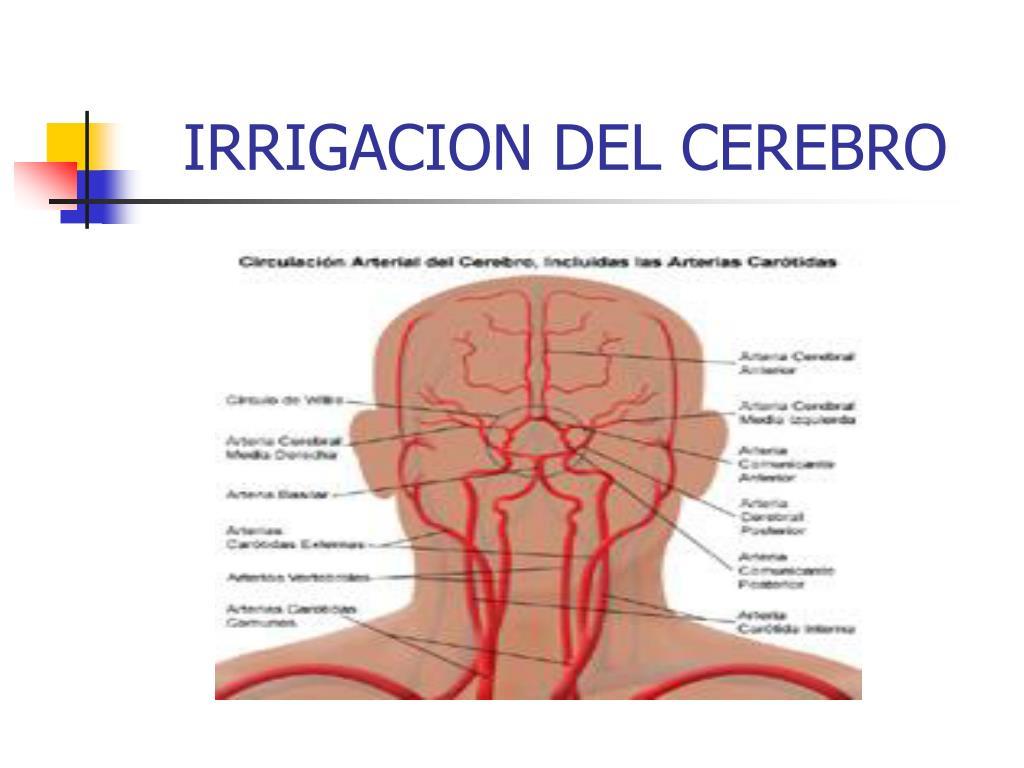 irrigacion del cerebro l.