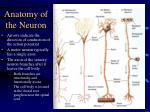 anatomy of the neuron